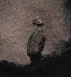 Placidium lacinulatum image