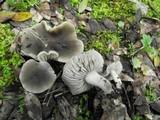 Dermoloma cuneifolium image
