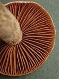Cortinarius rigens image