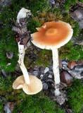 Cortinarius pluvius image