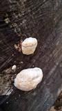 Sarcodontia delectans image