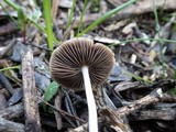 Psathyrella spadiceogrisea image