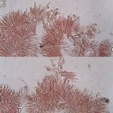 Crinipellis scabella image