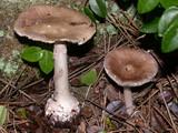 Amanita porphyria image