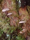 Micromphale arbuticola image