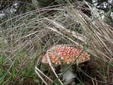 Amanita muscaria var. flavivolvata image