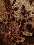 Trichia decipiens image