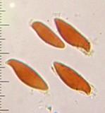 Lepiota spheniscispora image