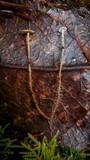 Dendrocollybia racemosa image