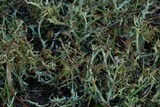 Cladonia multiformis image