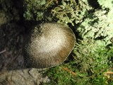 Pluteus atromarginatus image