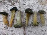 Leotia viscosa image