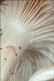 Clitocybe rivulosa image