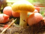 Tricholomopsis sulphureoides image