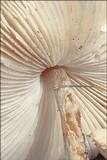 Lepiota oreadiformis image