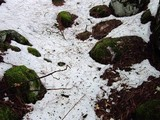 Cortinarius xanthodryophilus image