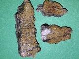 Caloplaca persimilis image