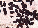 Coprinellus marculentus image