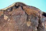 Punctularia strigosozonata image
