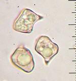 Alboleptonia adnatifolia image