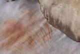 Entoloma cinereolamellatum image