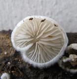 Crepidotus vulgaris image