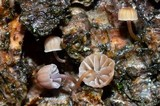 Mycena meliigena image