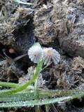 Parasola misera image