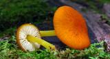 Pluteus admirabilis image