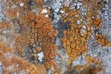 Caloplaca bolacina image