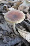 Pluteus phlebophorus image