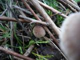 Psathyrella microrhiza image