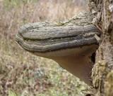 Fomes fasciatus image