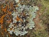 Parmelinopsis horrescens image