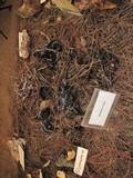 Phellodon niger image