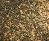 Caloplaca chlorina image