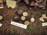 Geastrum pedicellatum image