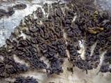Collema auriforme image