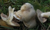 Cortinarius barbatus image