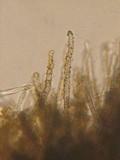 Neodasyscypha cerina image