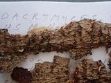 Dacrymyces variisporus image