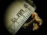 Polyporus cryptopus image