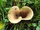 Hohenbuehelia petaloides image