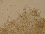 Simocybe haustellaris image