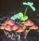 Conocybe pubescens image