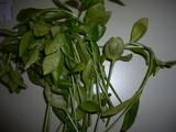 Puccinia vincae image