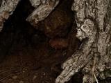Ganoderma sessile image