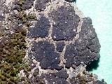 Collema coccophorum image