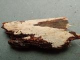 Hyphoderma roseocremeum image