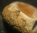 Tulostoma striatum image